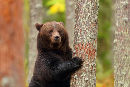 Big brown bear standing leaning in a tree of a forest showing claw