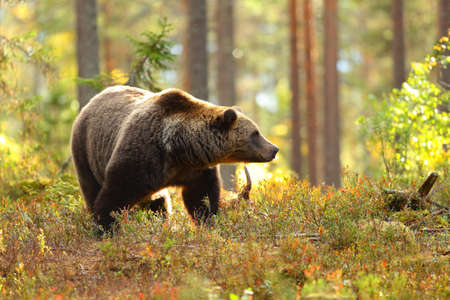 Portrait of a big brown bear in a colorful forest looking at side in autumn Stock Photo