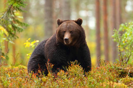 Front view portrait of a big brown bear sitting in a forest in autumn