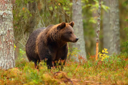Big brown bear walking in a colorful forest in autumn