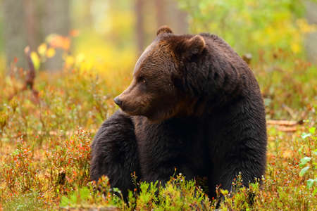 Big brown bear is sitting looking at side in a colorful forest in autumn season Imagens