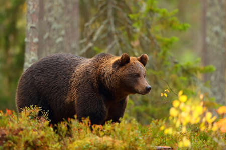 Side view portrait of a brown bear in a forest in fall season Stock Photo