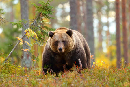 Front view portrait of a big brown bear in a forest looking at camera Stock Photo