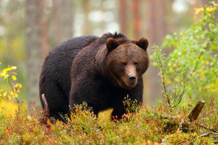 Big brown bear walking in a colorful forest in fall season