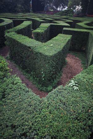 Green plant maze. Labyrinth maze garden. Green bushes natural labyrinth, hedge maze. Maze green bushes geometry. Top view.