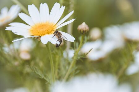 daisy pollinated by a bee