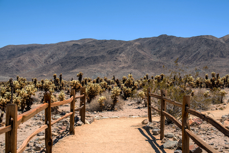 Cactus forest at Jhosua tree National Forest