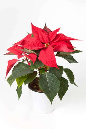 isolated red poinsettia the feast of Christmas Stock Photo