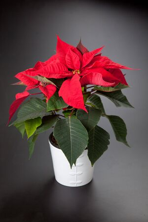 isolated red poinsettia the feast of Christmas Stock Photo - 5978718