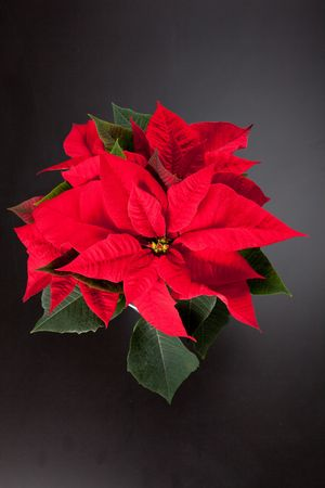 isolated red poinsettia the feast of Christmas photo