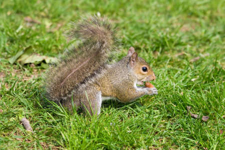 Little curious grey squirrel on green meadow eating an acorn photo