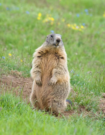 sentinel: marmot standing as sentinel on a green meadow in italian dolomites