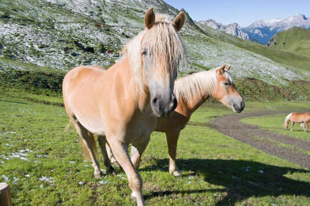 sudtirol: two haflinger horses free in a high mountain pasture in italian dolomites, Sudtirol