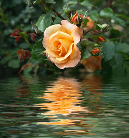 pink rose petals: yellow rose between buds and foliage is reflected on water Stock Photo