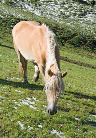 sudtirol: haflinger horse free in a high mountain pasture in italian dolomites, Sudtirol