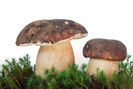 two boletus edulis on musk  isolated on white background photo