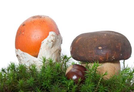two mushrooms, Amanita Caesarea and Boletus edulis with chestnut on musk isolated on white background photo