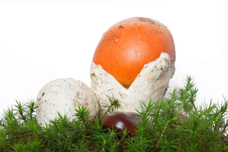 two beautiful young Amanita Caesarea mushroom on musk isolated on white background photo