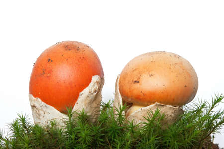 two young Amanita Caesarea mushrooms on moss isolated on white background photo