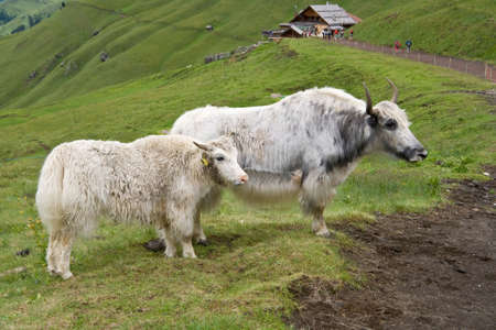 two white yaks on a pasture in italian alps photo