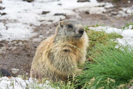 Marmot standing on a snow covered meadow in italian alps