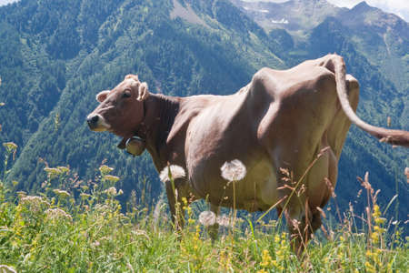beautiful cow: beautiful cow free on a high pasture in Italian Alps