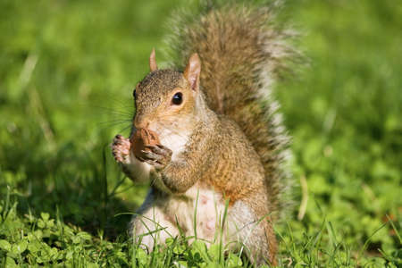 Little curious grey squirrel on green meadow eating a nut photo