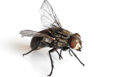 fly: detalle de una mosca aislada sobre fondo blanco  Foto de archivo
