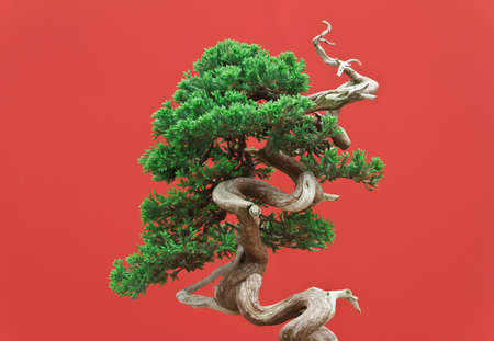 deciduous:  juniper bonsai over red background