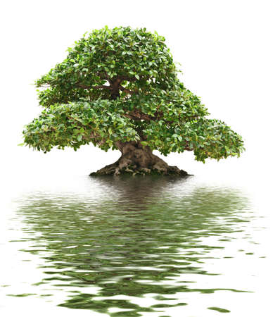 bonsai tree reflected into the water