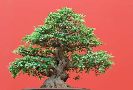 ficus: beautiful Ficus tree bonsai over red background Stock Photo