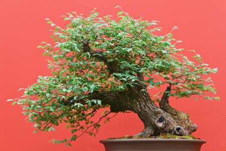 beautiful Zelkova tree bonsai over red background photo