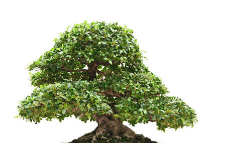 beautiful Ficus bonsai isolated on white background photo