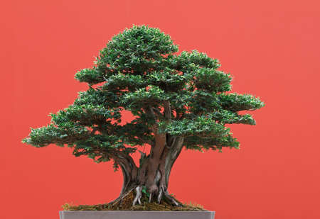 centenarian: high quality Taxus bonsai over red background