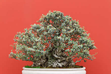 very old bonsai tree over red background photo