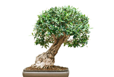 ficus: ficus bonsai tree isolated on white background