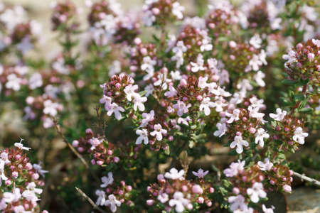 characteristic: deatail of thyme plant with characteristic small flowers