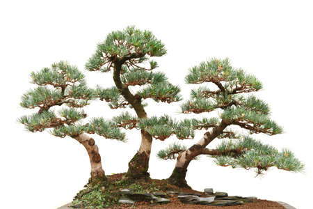 three pine bonsai trees isolated on white background photo