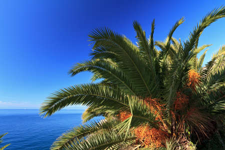 date palm tree: date palm tree withm fruits over Mediterranean sea