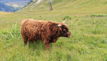 brown highland free on  high alpine pasture photo