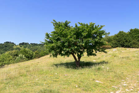 beech tree beech: green field and beech tree in Italian country Stock Photo