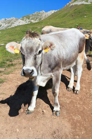 beautiful cow: beautiful cow on alpine pasture on summer