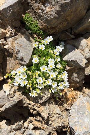 chickweed: Cerastium uniflorum with white flowers betwween rocks Stock Photo