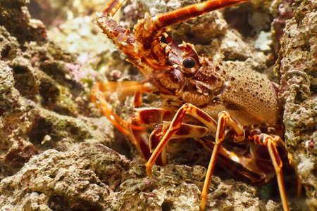 closeup of red lobster between rocks under water  photo