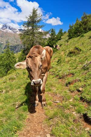 cow on alpine pasture in Val di Pejo, Trentino, Italy photo