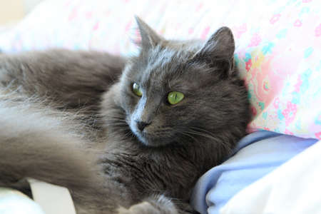 female Nebelung breed cat with green eyes Banco de Imagens