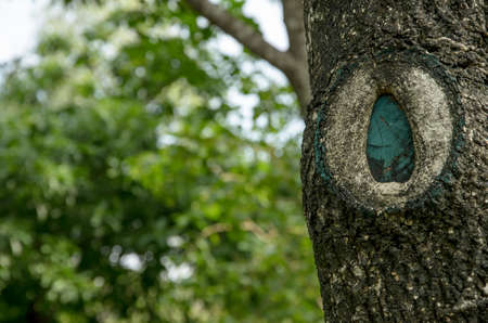 callus: wound of the tree caused by pruning. Stock Photo