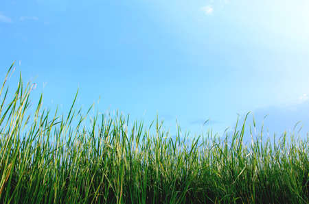 Cattail leaf with blue sky background. Stock Photo