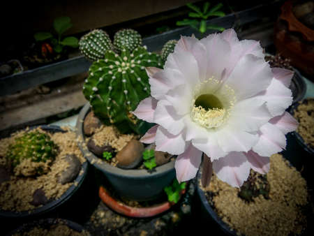 anthers: white cactus blooming flowers