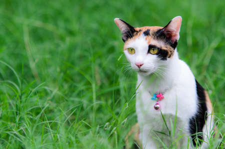 Three-colored cat sit and watch something in the green lawn.